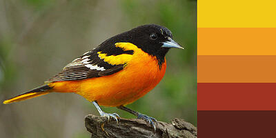 Color Palette of Baltimore Oriole