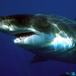 Great White shark - Color Palettes for Graphic Designers #sharkweek