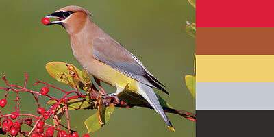 Color Palette of Cedar Waxwing