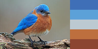Color Palette of Eastern Bluebird