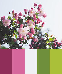 Color Palette of Blooming Cherry Blossoms