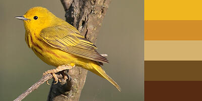 Color Palette of Yellow Warbler