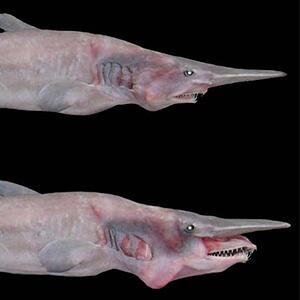 goblin shark - Color Palettes for Graphic Designers #sharkweek